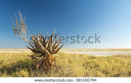 Aloe Vera plants growing at the edge of the Makgadikgadi Pan salt flats in Botswana, Africa - stock photo