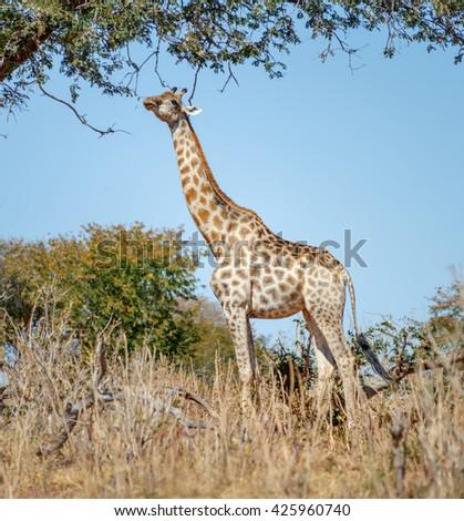 Alone giraffe in savannah - Chobe national park, Botswana, South-Western Africa - stock photo