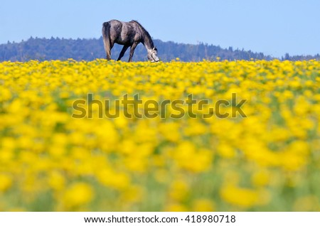 Alone horse grassing on horizon on yellow spring meadow covered by yellow dandelion flowers. Original horse wallpaper - stock photo