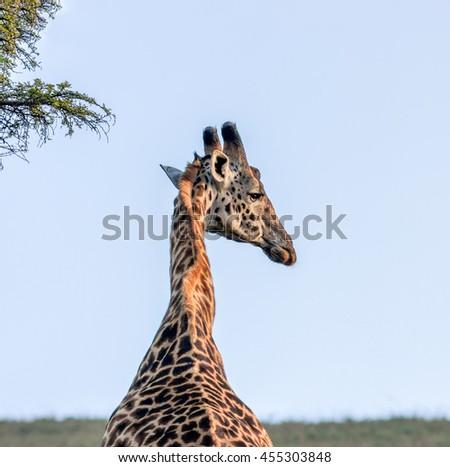 Alone Maasai Giraffes in Crater Ngorongoro National Park - Tanzania, Eastern Africa - stock photo