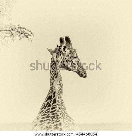 Alone Maasai Giraffes in Crater Ngorongoro National Park - Tanzania, Eastern Africa (stylized retro) - stock photo