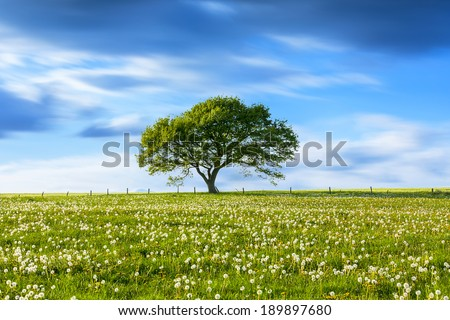 Alone Old oak tree on dandelion meadow with Blue cloudy Sky at spring in the Eifel germany - stock photo