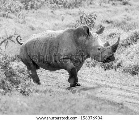 Alone rhinoceros at the Lake Nakuru National Park - Kenya, Eastern Africa (black and white) - stock photo