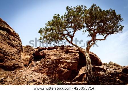 Alone tree in  old  city Petra, Jordan  - stock photo