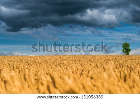 Alone tree in wheat field - stock photo