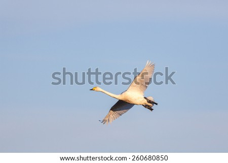 Alone Whooper Swan flying on the sky - stock photo