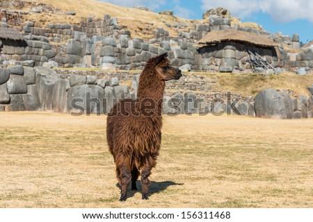 Alpaca at Sacsayhuaman, Incas ruins in the peruvian Andes at Cuzco Peru South America - stock photo