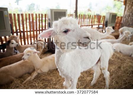 alpaca at zoo - stock photo