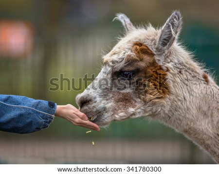 Alpaca being fed by hand by a child on a children's farm in Germany - stock photo