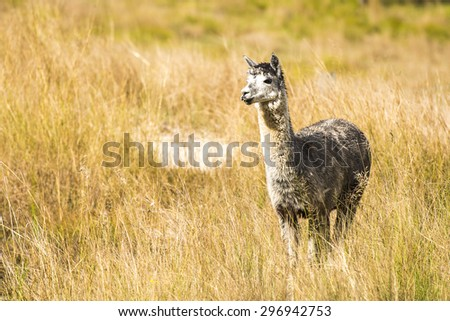 Alpaca by itself in a field during the day in Queensland