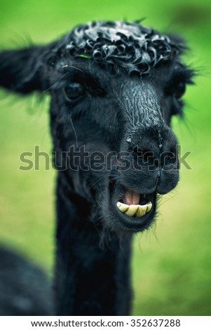 Alpaca by itself in a field during the day in Queensland - stock photo