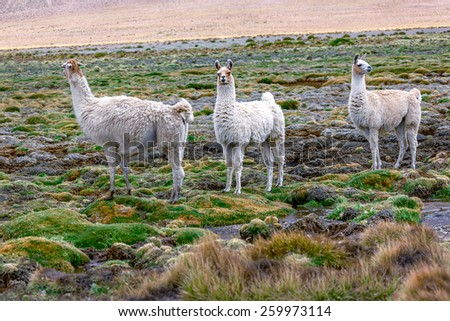 Alpaca herd grazing in the desert plateau of the Altiplano, Bolivia - stock photo