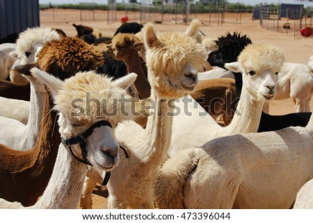 Alpaca Herd in New Mexico