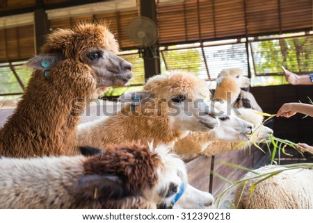 Alpaca in farm - stock photo