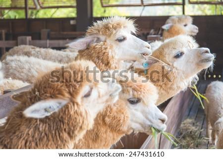 Alpaca in farm (soft tone) - stock photo