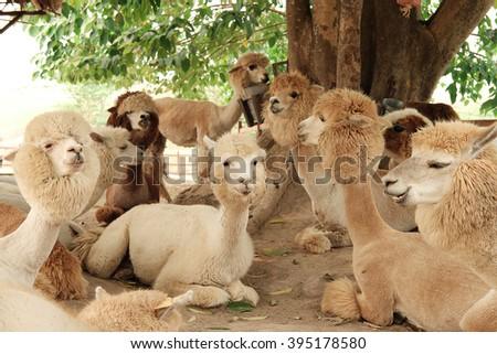 alpaca in firm - stock photo