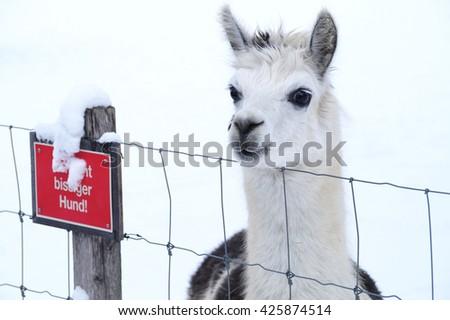 Alpaca In the Snow - stock photo