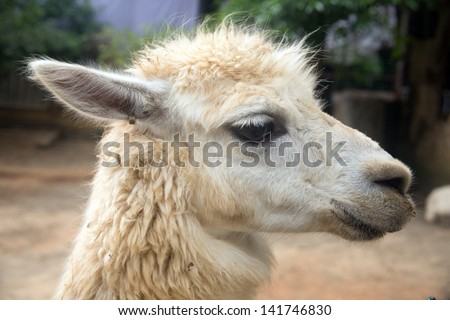 alpaca in the wild zoo