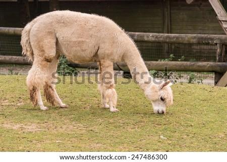 Alpaca in the zoo - stock photo