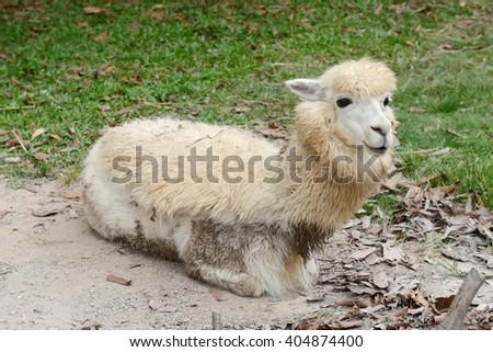Alpaca in zoo - stock photo