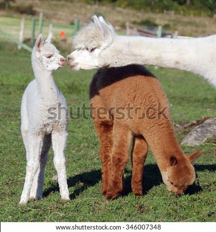 Llama Birth