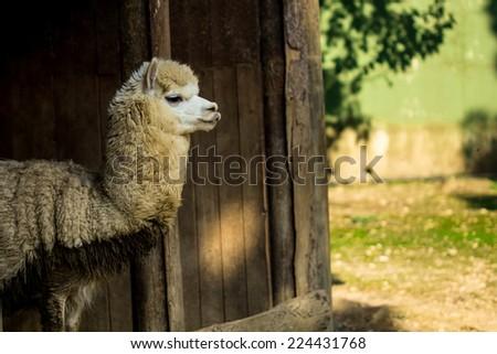 Alpaca lama animal  - stock photo