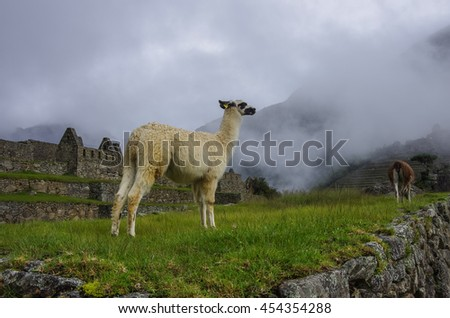 Alpaca ( lama ) in  Machu Picchu, Peru, UNESCO World Heritage Site. One of the New Seven Wonders of the World