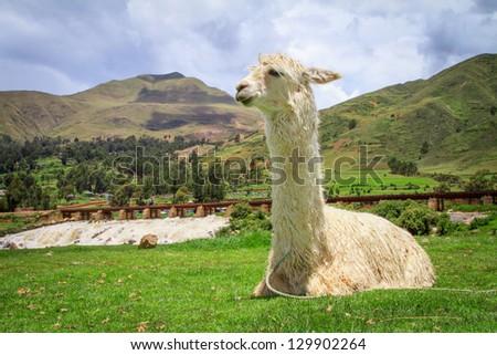 alpaca lama in the Peru Sacred valley - stock photo