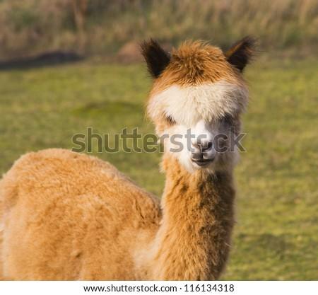 alpaca portrait - stock photo