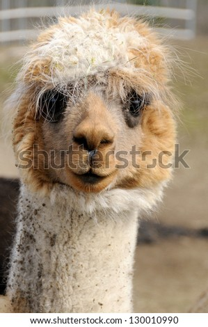 Alpaca (Vicugna pacos) is a domesticated species of South American camelid. It resembles a small llama in appearance. - stock photo