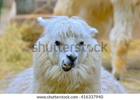 Alpaca, white ilama - stock photo