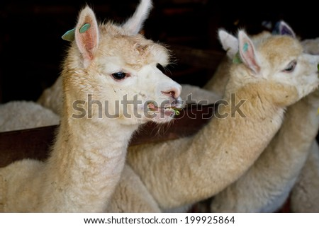 Alpacas in Alpaca farm , Thailand