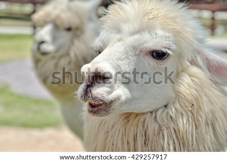 Alpacas in farm : Closeup