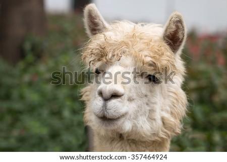 Alpacas in zoo - stock photo