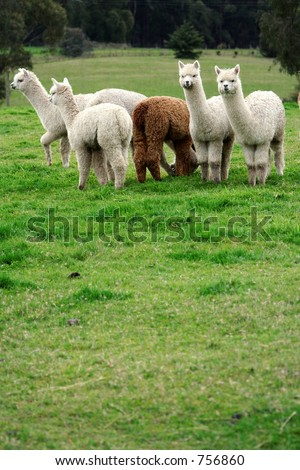 Alpacas loitering in a field and generally up to no good. One of a series of images. - stock photo