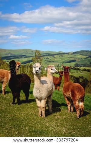alpacas on field - stock photo