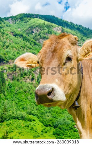 Alpine brown cow on green meadow, Austria - stock photo
