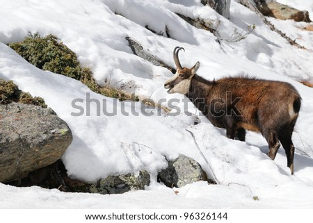 alpine chamois (Rupicapra rupicapra) and snow covered alpine habitat - stock photo