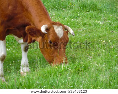 High School Essay Help Alpine Cow Cows Are Often Kept On Farms And In Villages This Is Useful Sample Essay Proposal also Narrative Essay Topics For High School Students Cow Eating Grass Stock Images Royaltyfree Images  Vectors  Research Essay Topics For High School Students
