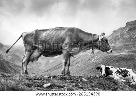 Alpine cow grazing - stock photo