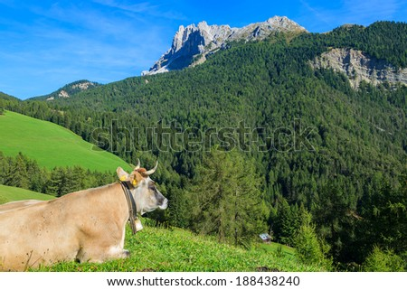 Alpine cow lays on green field in Val di Funes, Dolomites Mountains, Italy - stock photo