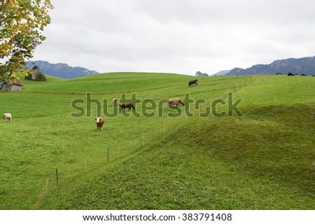 Alpine cow on a beautiful meadow - stock photo