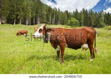 Alpine cow with bell - stock photo
