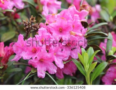Alpine flora: Rust-leaved Alpenrose (Rhododendron Ferrugineum) - stock photo