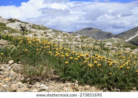 Alpine flower at Rocky Mountain National Park - stock photo