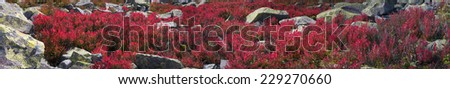 Alpine heathlands after summer bright colors light up glow red and orange leaves of gray stone, covered lichen- very picturesque, causes joy The berries are very tasty and useful, and simply beautiful - stock photo