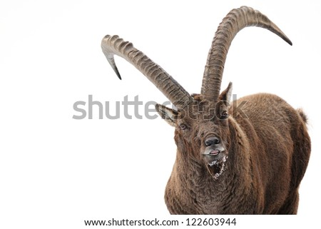 Alpine ibex (Capra ibex) close up - stock photo