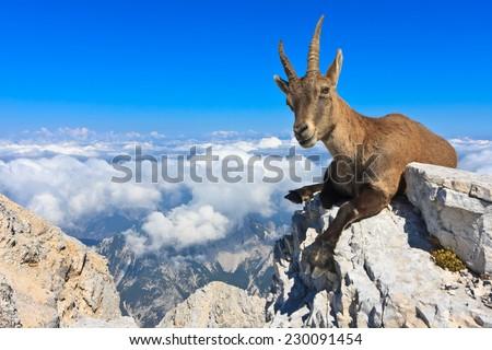 Alpine Ibex female lying on rocks on the Montagio (Montaz) mountain, Italy - stock photo