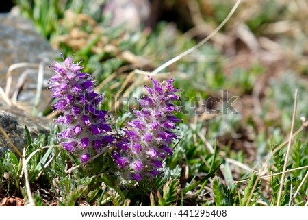 Alpine Kitten Tail  wildflowers blooming in alpine tundra meadows.  Found near Cottonwood pass in Rocky Mountains, Denver, Buena Vista, Colorado, USA.  - stock photo
