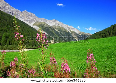 Alpine landscape with meadow flowers, Sulden village , Alpine dolomite mountains background ,Alpine landscape, Stelvio National Park ,Tyrol, Bolzano, Italy